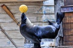 Zoo-Seedichtungsball Stockfotos