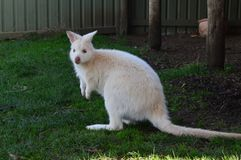 Zoo selvaggio del TAS del canguro bianco dell'Australia fotografia stock