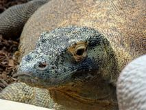 Zoo Servion and Tropiquarium of Servion - 2017. Comodo Dragon looking at me Royalty Free Stock Images