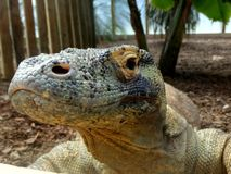 Zoo Servion and Tropiquarium of Servion - 2017. Comodo Dragon looking at me Royalty Free Stock Photography