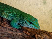 Zoo Servion and Tropiquarium of Servion - 2017. Cute little lizard Royalty Free Stock Image