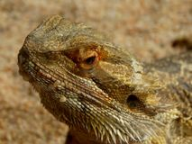 Zoo Servion and Tropiquarium of Servion - 2017. Reptile on sand Stock Photography