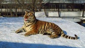 Zoo siberian tiger Royalty Free Stock Photos