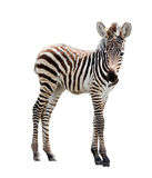 Zoo single burchell zebra Royalty Free Stock Photos
