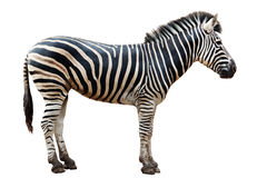 Zoo single  burchell zebra isolated Royalty Free Stock Photos