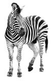 Zoo single  burchell zebra isolated Stock Images