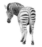 Zoo single  burchell zebra isolated on white Royalty Free Stock Photography