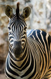Zoo single zebra walking Royalty Free Stock Photos