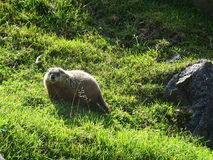 Zoo St Felicien: a marmot Stock Photo