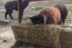 Zoo stanco dell'alpaga all'aperto Immagini Stock