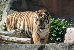 Zoo Tiger Royalty Free Stock Images