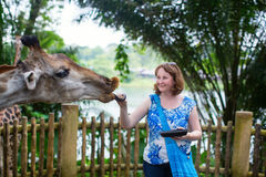 Zoo visitor is feeding a giraffe Stock Photography