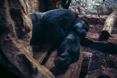 ZOO in Warsaw. Warsaw, Poland - May 12, 2015. Gorilla in Warsaw Zoological Garden Royalty Free Stock Images