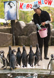 Zoo worker feeds penguins Stock Images