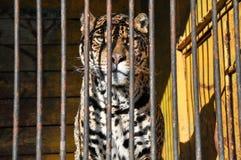 Zoo zwierząt komórki klatki lwa więzienia tygrysi metal Zdjęcia Royalty Free