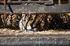 Zoo zwierząt komórki klatki lwa więzienia tygrysi smucenie Zdjęcia Royalty Free