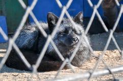 Zoo zwierząt komórki klatki lwa więzienia tygrysi ssak Zdjęcia Stock