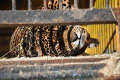 Zoo zwierząt komórki klatki lwa więzienia tygrysia natura Zdjęcia Royalty Free