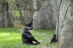 Zoo zwierzęta. Goryle Zdjęcia Royalty Free