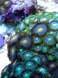 Zooanthid green polyp corals Stock Photography