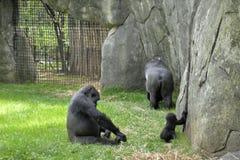 Zoodjur. Gorillor Arkivfoto