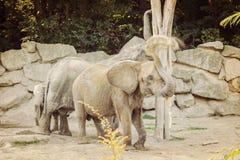 Zooelefant mit einem Elfenbein stockbilder