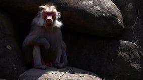 Zoogdier dierlijke chimpansee in dierentuin stock videobeelden