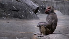 Zoogdier dierlijke chimpansee in dierentuin stock video