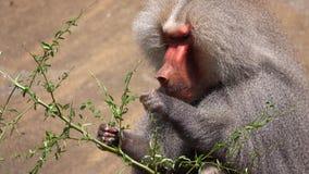 Zoogdier dierlijke chimpansee in dierentuin stock footage