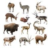 Zoogdieren artiodactyl herkauwers op witte geïsoleerde achtergrond stock fotografie