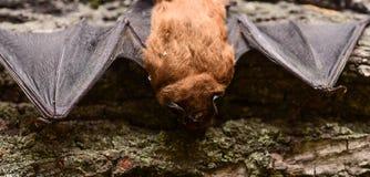Zoogdieren natuurlijk geschikt voor ware en aanhoudende vlucht Slecht ontwikkeld de species klein van de ogenknuppel Knuppeldetec stock foto