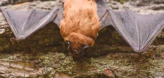 Zoogdieren natuurlijk geschikt voor ware en aanhoudende vlucht Slecht ontwikkeld de species klein van de ogenknuppel Knuppeldetec royalty-vrije stock fotografie