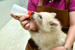 Zookeeper feeding baby albino raccoon Stock Images