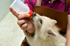 Zookeeper feeding baby albino raccoon Stock Photo