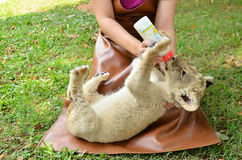 Zookeeper feeding baby lion Stock Photography