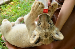 Zookeeper feeding baby lion Royalty Free Stock Photos