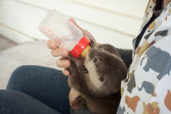 Zookeeper feeding baby otter. With milk replacer stock photo