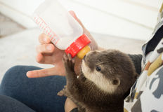 Zookeeper feeding baby otter. With milk replacer stock images