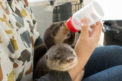 Zookeeper feeding baby otter. With milk replacer royalty free stock image