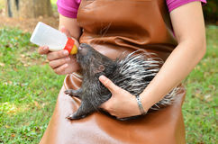 Zookeeper feeding baby porcupine. Zookeeper take care and feeding baby porcupine royalty free stock photo