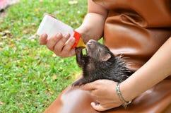 Zookeeper feeding baby porcupine Royalty Free Stock Image