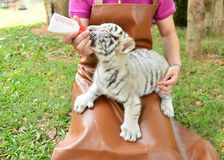 Zookeeper feeding baby white tiger Stock Photography