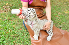 Zookeeper feeding baby white tiger. Zookeeper take care and feeding baby white tiger royalty free stock image