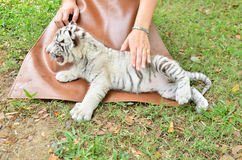 Zookeeper feeding baby white tiger Stock Photos