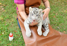 Zookeeper feeding baby white tiger Royalty Free Stock Photography