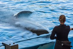 Zookeeper feeding orca whale and taking care of huge hunger. Animal in captivity stock photography