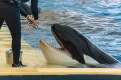 Zookeeper feeding orca whale and taking care of huge hunger. Animal in captivity stock photos