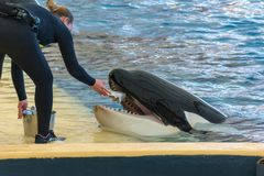 Zookeeper feeding orca whale and taking care of huge hunger. Animal in captivity royalty free stock photos