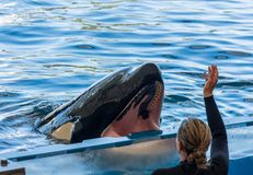 Zookeeper feeding orca whale and taking care of huge hunger. Animal in captivity royalty free stock photo
