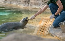 The Zookeeper is feeding the seal with fish. Zoo at sunny day stock photos